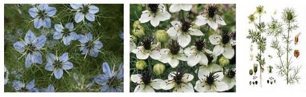 Цветы и стебли черного тмина