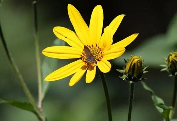 цветок земляной груши