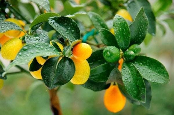 Кумкват: польза и вред, что это за фрукт