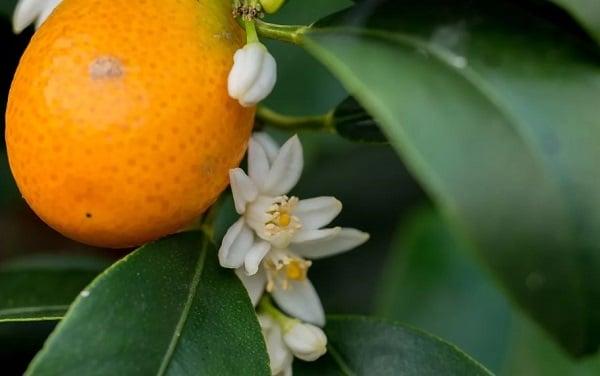 Кумкват: что это за фрукт и как его едят